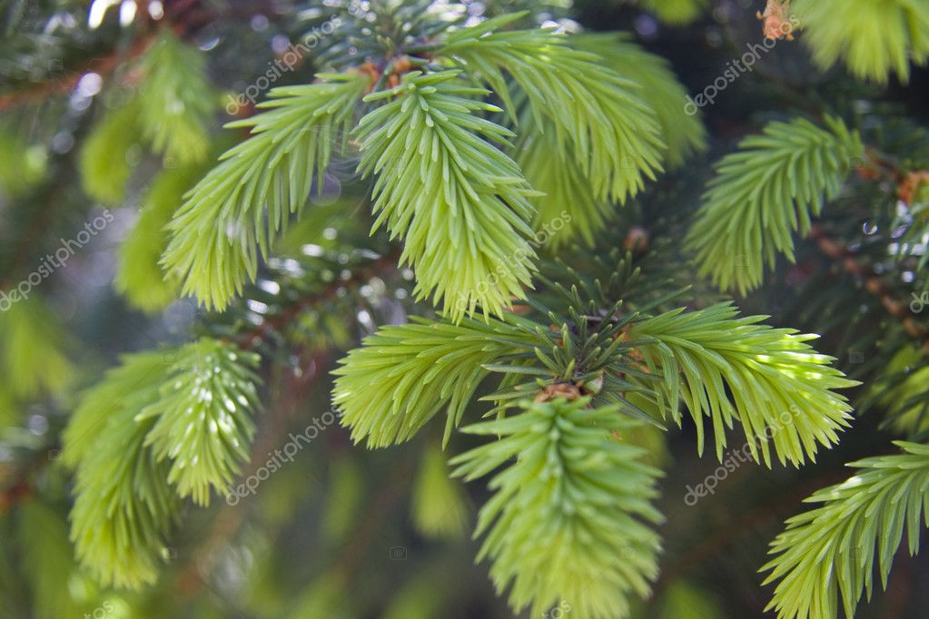 Fir tree branches with new buds  Foto de Stock   #2453988