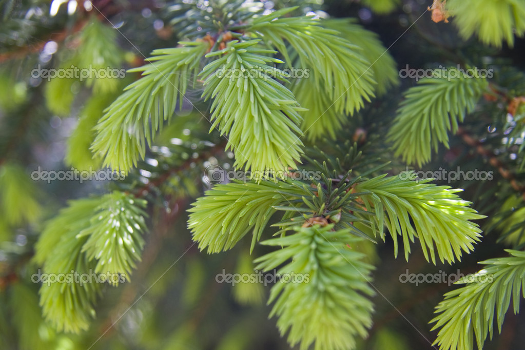 Fir tree branches with new buds — Zdjęcie stockowe #2453988