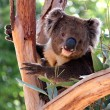 Koala in a Eucalyptus Tree, Australia - Stock Photo