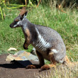 Yellow-Footed Rock-Wallaby — Stock Photo