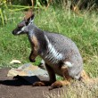 Yellow-Footed Rock-Wallaby — Stock Photo #2270520