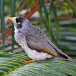 Noisy Miner Bird - Australian Native — Stock Photo #2270635