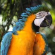 Blue and Yellow Macaw - Stock Photo