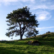 Solitary tree on hill ridge — Stock Photo