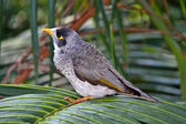 Noisy Miner Bird - Australian Native — Stock Photo