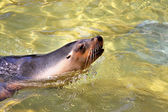 Australian Sea-Lion surfacing to breathe — Stock Photo