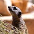 Meerkat Suricate - Suricata Suricatta - Foto de Stock  