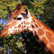 Giraffe - Side Profile of Face and Neck — Stock Photo