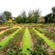 Stock Photo: Formal Rose Garden