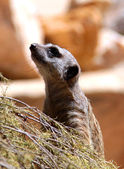 Meerkat Suricate - Suricata Suricatta — Stock Photo