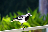 Murray-Magpie standing on fence — Stock Photo