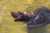 Australian Sea-Lion eating a Fish — Stock Photo