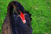 Australian Black Swan, Cygnus atratus — Stock Photo