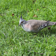 Crested Pigeon feeding — Stock Photo #2457338