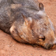 Southern Hairy-Nosed Wombat — Stock Photo