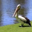 Australian Pelican along a River bank — Stock Photo #2457390