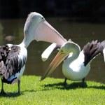 Two Australian Pelicans — Stock Photo #2457395