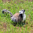 Stock Photo: Ring-tailed Lemur - Lemur catta