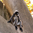 Dusky Leaf Monkey — Stock Photo #2457690