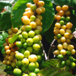 Coffee Plant showing Coffee Berries — Stock Photo #2457951