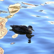 Pacific Black Duck on River Reflections — Stock Photo