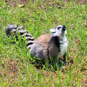 Ring-tailed Lemur - Lemur catta — Stock Photo