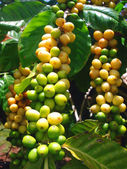 Coffee Plant showing Coffee Berries — Stock Photo