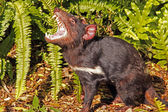 Tasmanian Devil growling — Stockfoto