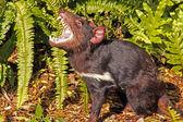 Tasmanian Devil growling — Stock Photo