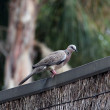 Spotted Turtledove on Fence — Stock Photo
