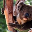 Victorian Koala in Eucalyptus Tree — Stock Photo #2461690