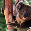 Victorian Koala in Eucalyptus Tree - Stock Photo