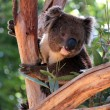 Victorian Koala in a Eucalyptus Tree — Stock Photo #2461713
