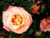 Apricot Rose Bush — Stock Photo