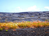 Wildflowers breaking through lava flow — Stock Photo