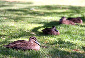 Pacific Black Ducks resting in grass — Stock Photo