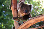 Victorian Koala in a Eucalyptus Tree — Stock Photo