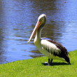 Australian Pelican — Stock Photo #2490245