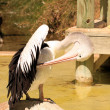 Australian Pelican Grooming on Rock — Stock Photo #2499083