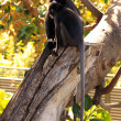 Stock Photo: Two Dusky Leaf Monkeys