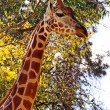 Giraffe neck and face - side profile — Stock Photo