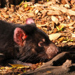 Tasmanian Devil basking in the sunlight — Stock Photo