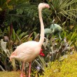 Greater Flamingo standing — Stock Photo