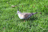 Crested Pigeon in Motion (walking) — Stock Photo