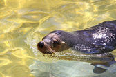 Australian Sea-Lion surfacing — Stock Photo