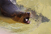 Australian Sea-Lion eating a Fish. — Stock Photo