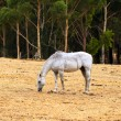 Horse Grazing on dry grass on hill — Stock Photo #2566577