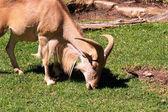 Barbary Sheep grazing — Stock Photo