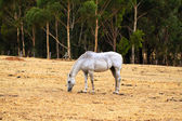 Horse Grazing on dry grass on hill — Stock Photo