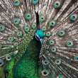 Stock Photo: Male Green Peafowl (Peacock)